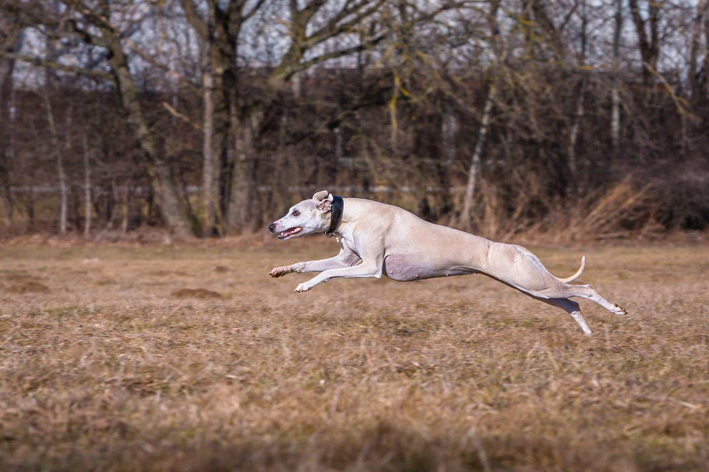 Whippet Windhund rennt auf einer Wiese