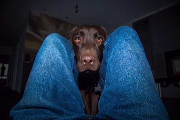 Brauner Labrador drängt auf Gassi gehen